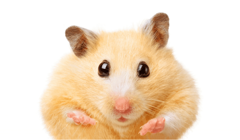 7 Jaw dropping facts about hamsters For such a small animal, here's 7 things really cool about hamster anatomy.