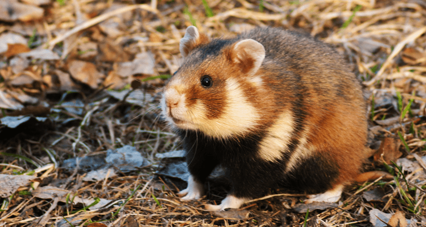 How did hamsters become domesticated
