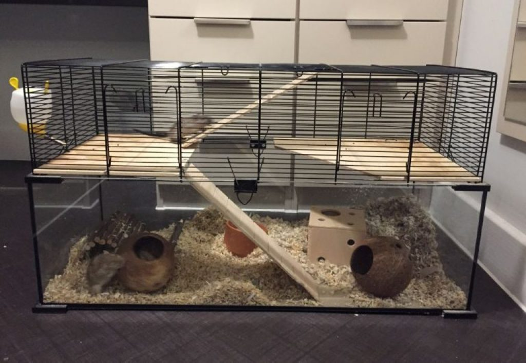 Can gerbils live in hamster cages safely