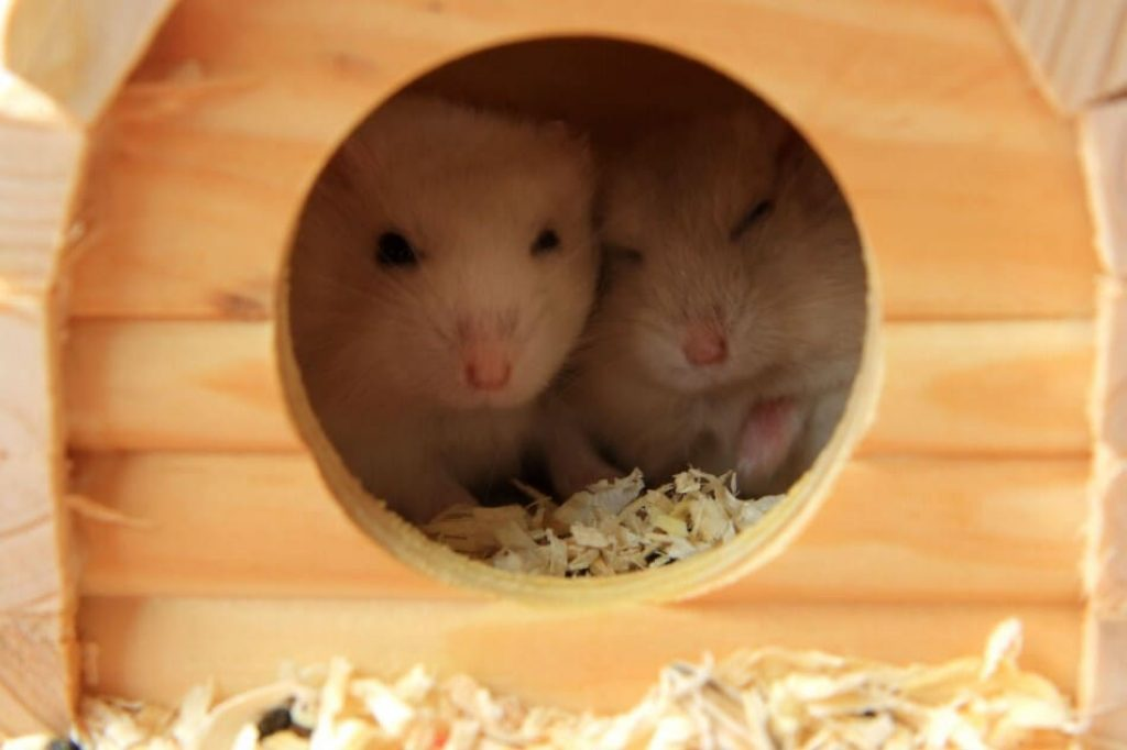 Can you keep two hamsters in the same cage?
