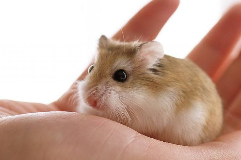 How To Care for a new hamster the first week