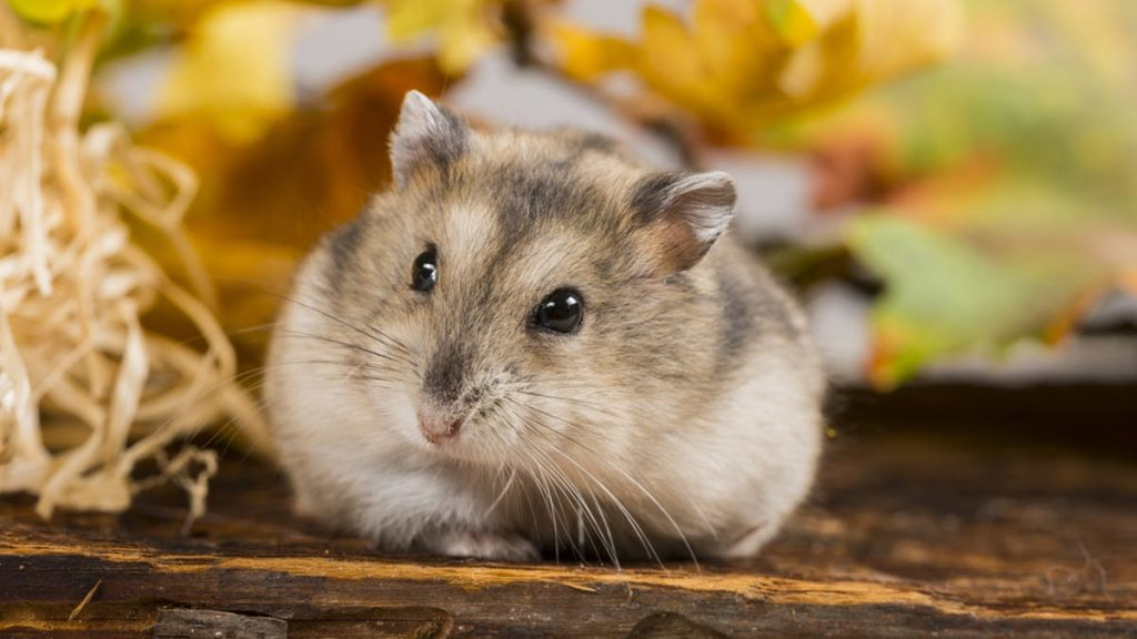 How long do hamsters live for
