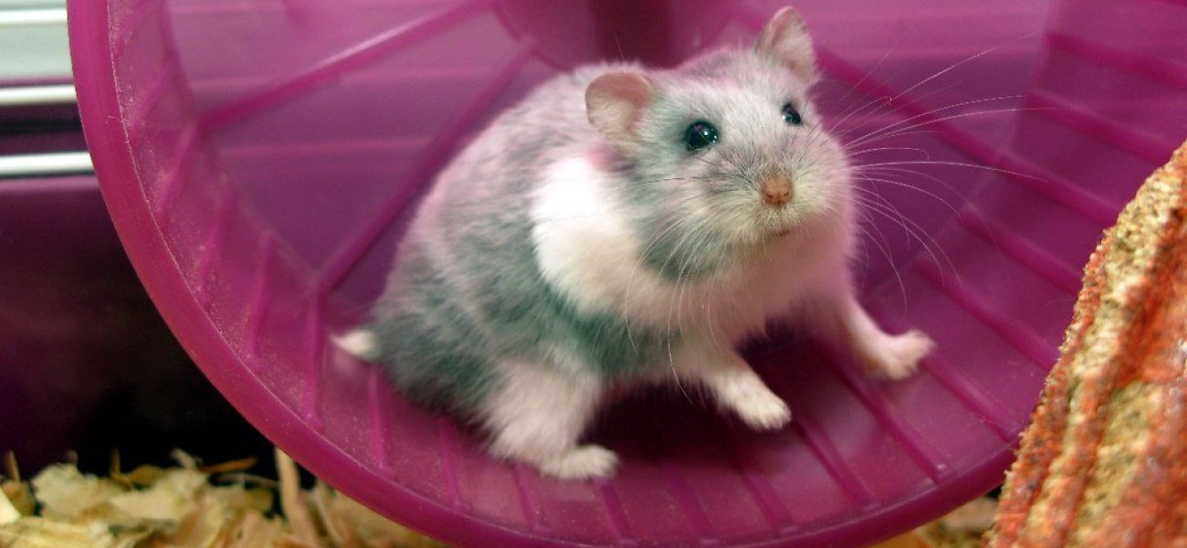 How to get rid of a smelly hamster cage