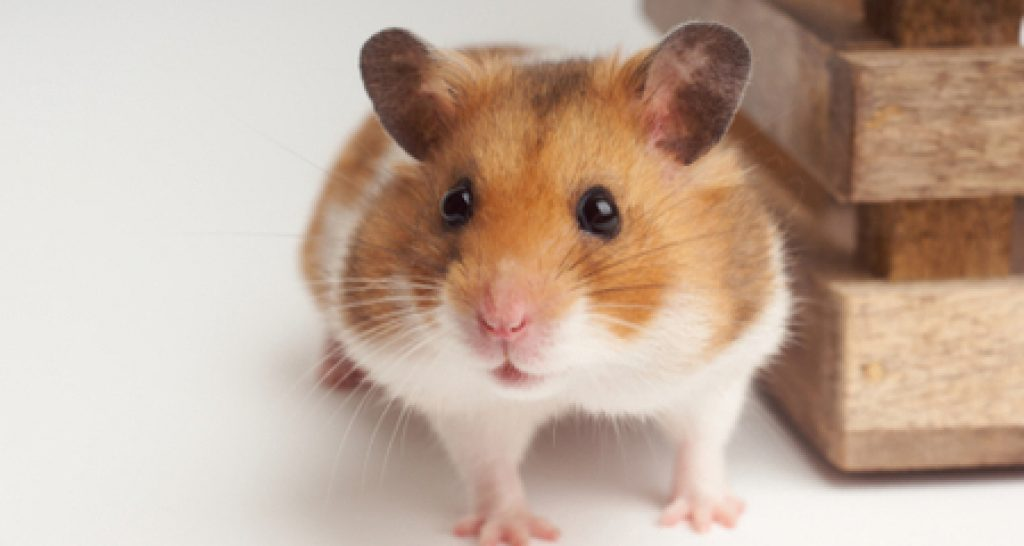 Where do hamsters come from