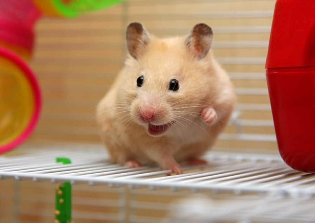 Why do hamsters bite their owners or Fight