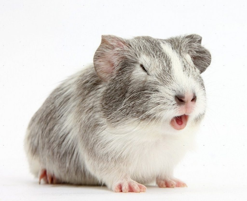 Why is my hamster sneezing