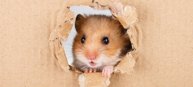 What to do when your hamster escapes from its cage